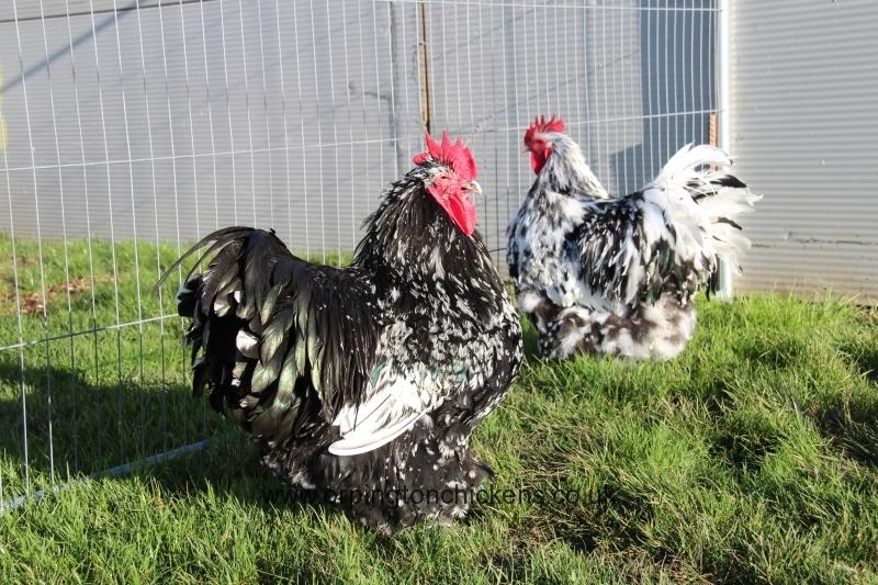 Black Mottled orpington chicken img_3512