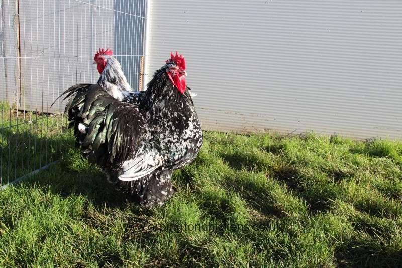 Black Mottled orpington chicken img_3514