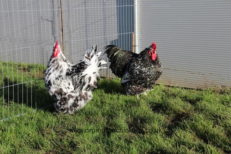 Black Mottled orpington chicken img_3523