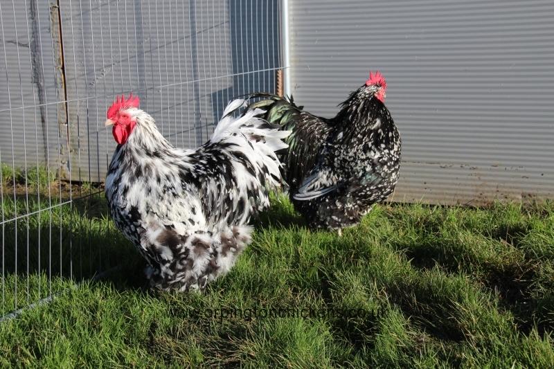Black Mottled orpington chicken img_3530
