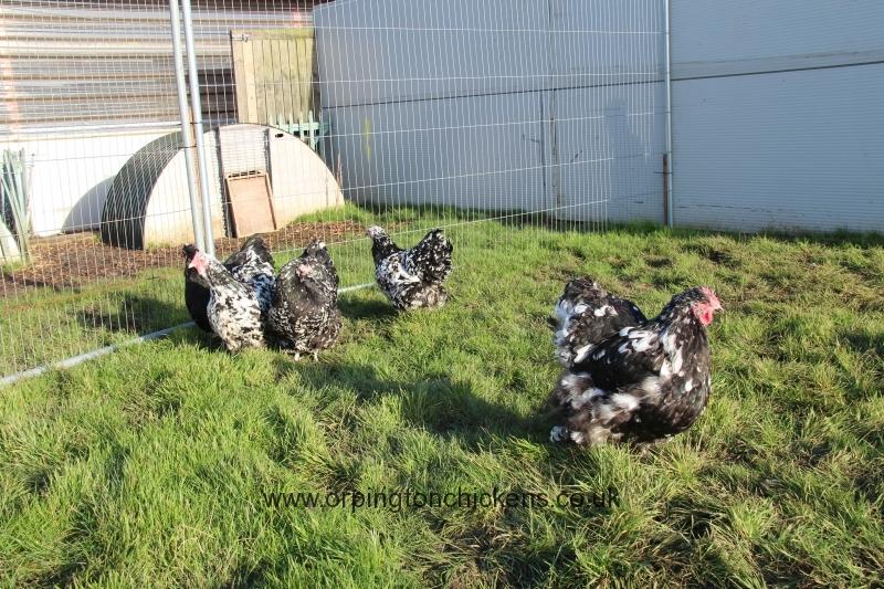 Black Mottled orpington chicken img_3862