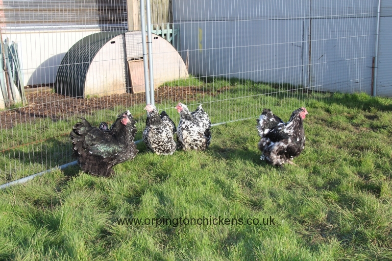 Black Mottled orpington chicken img_3874