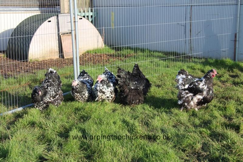 Black Mottled orpington chicken img_3875