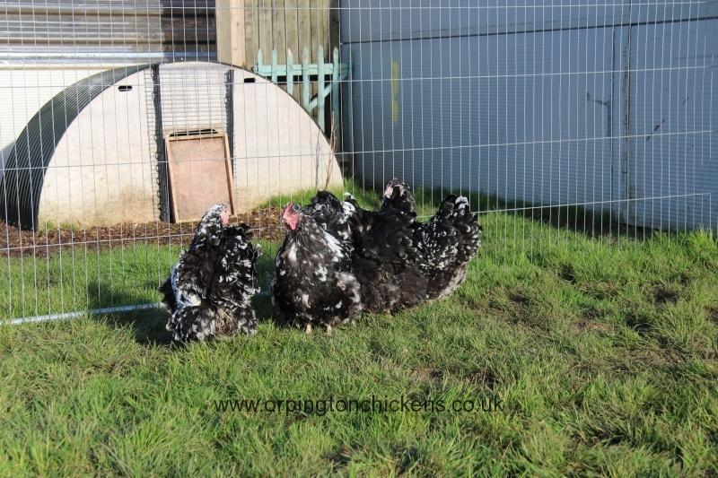Black Mottled orpington chicken img_3881