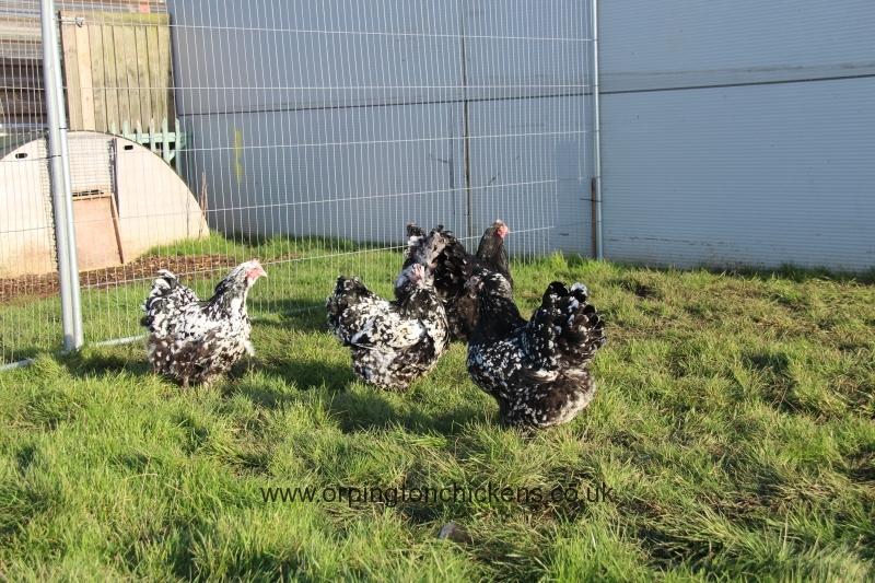 Black Mottled orpington chicken img_3886