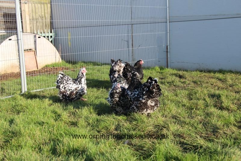 Black Mottled orpington chicken img_3887
