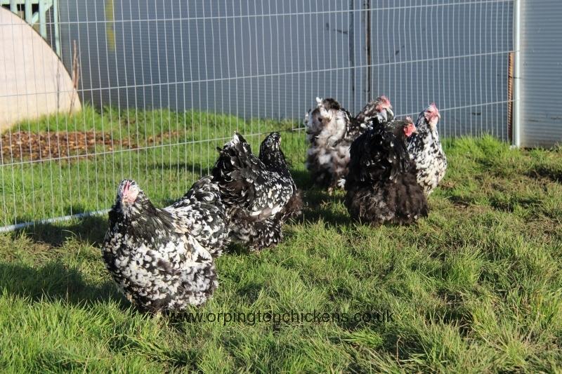 Black Mottled orpington chicken img_3939