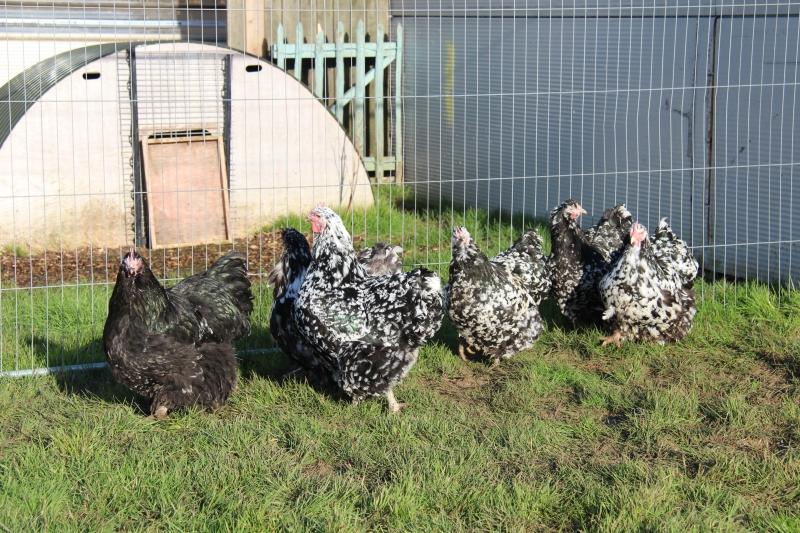 Black Mottled orpington chicken img_3943
