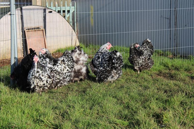 Black Mottled orpington chicken img_3951
