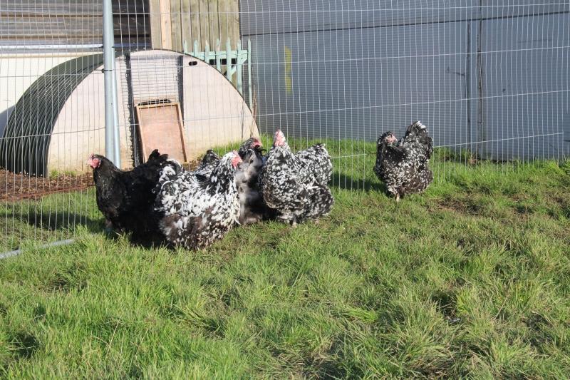Black Mottled orpington chicken img_3953