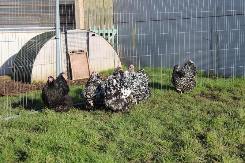Black Mottled orpington chicken img_3954
