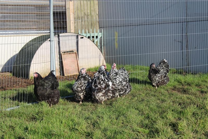 Black Mottled orpington chicken img_3955