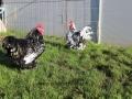 Black Mottled orpington chicken img_3508