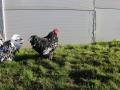Black Mottled orpington chicken img_3515