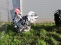 Black Mottled orpington chicken img_3516