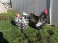 Black Mottled orpington chicken img_3520