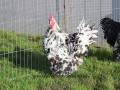 Black Mottled orpington chicken img_3521