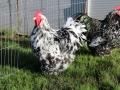 Black Mottled orpington chicken img_3527