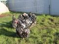 Black Mottled orpington chicken img_3855