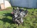 Black Mottled orpington chicken img_3856