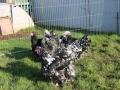 Black Mottled orpington chicken img_3857