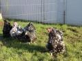 Black Mottled orpington chicken img_3858