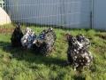 Black Mottled orpington chicken img_3859