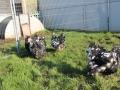 Black Mottled orpington chicken img_3861