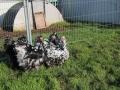 Black Mottled orpington chicken img_3868