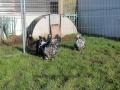 Black Mottled orpington chicken img_3882