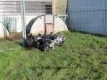 Black Mottled orpington chicken img_3884