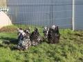 Black Mottled orpington chicken img_3935