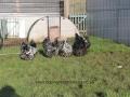 Black Mottled orpington chicken img_3940