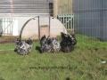 Black Mottled orpington chicken img_3941