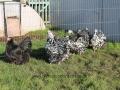 Black Mottled orpington chicken img_3942