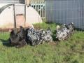 Black Mottled orpington chicken img_3944