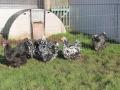 Black Mottled orpington chicken img_3945