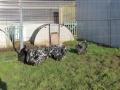 Black Mottled orpington chicken img_3947