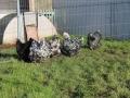 Black Mottled orpington chicken img_3952