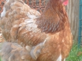 blue buff columbian orpington chicken ebay-098