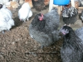 Blue orpington chickens cimg1702