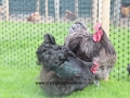 Blue orpington chickens img_1754