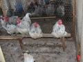 Blue Splash orpington chicken img_3708