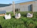 Blue Splash orpington chicken img_4041