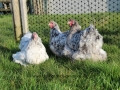 Blue Splash orpington chicken img_4054