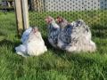 Blue Splash orpington chicken img_4055
