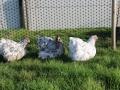 Blue Splash orpington chicken img_4057
