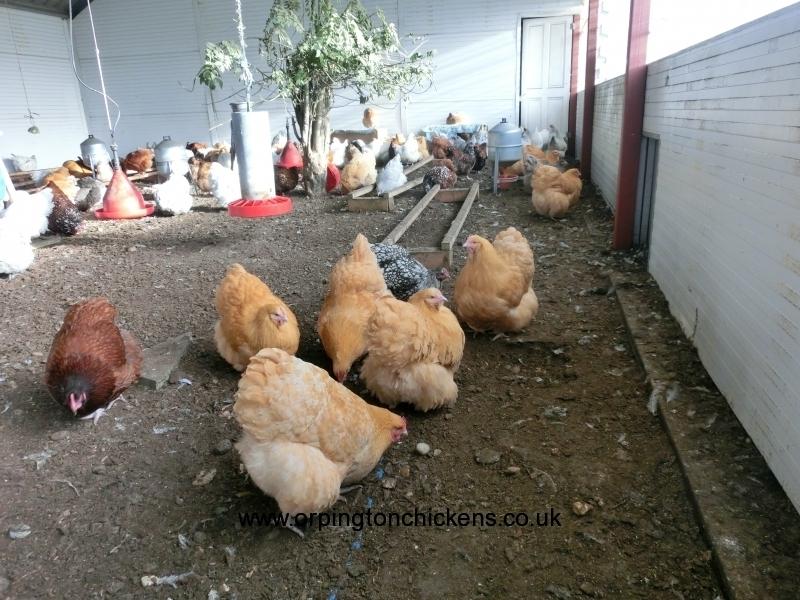 Buff  orpington chicken cimg1817