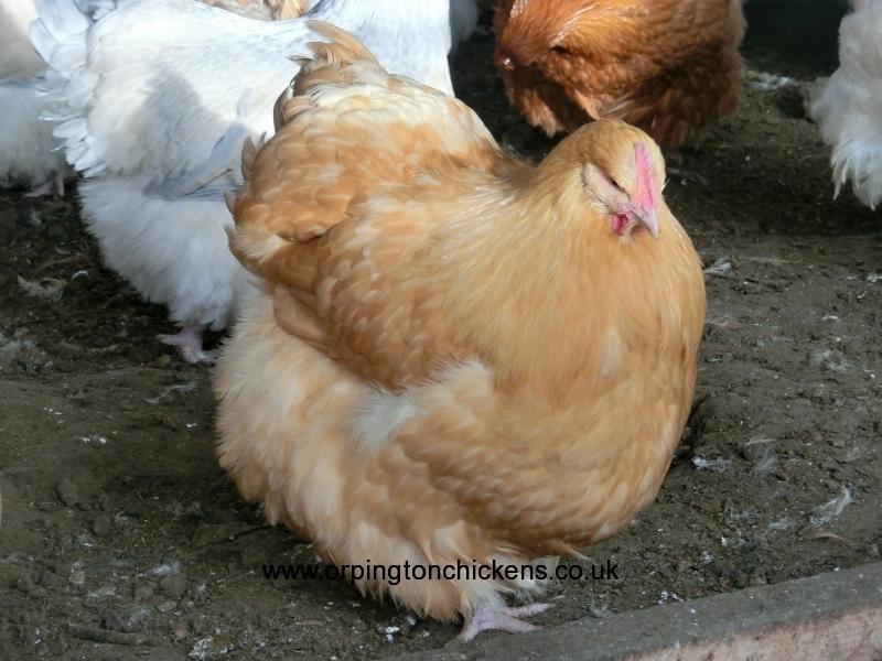 Buff  orpington chicken cimg1829