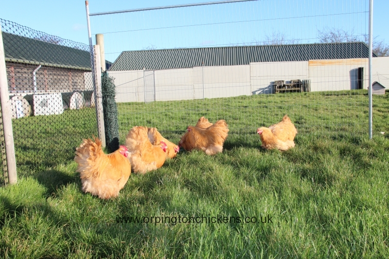 Buff  orpington chicken img_3664
